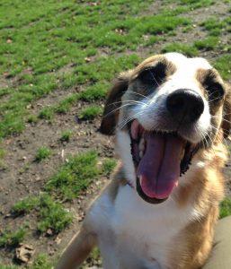 Hund freudig auf der Wiese beim Longieren